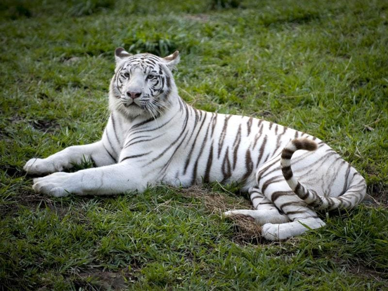 A white tiger (Panthera tigris) is seen at the zoo in Cali, Colombia. Colombia has the second largest biodiversity in the world. Activists across the globe will celebrate Earth Day on April 22 with events aimed at bringing awareness of environmental concerns. AFP PHOTO/Luis ROBAYO