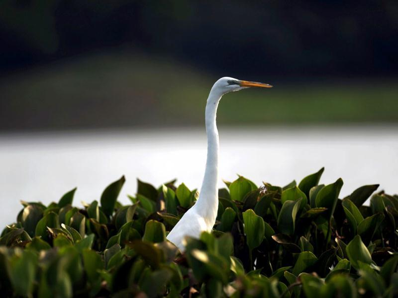 A Great Egret (Egretta thula) is seen at the Suchitlan lake, near the town of Suchitoto, 47 km east of San Salvador. The Suchitlan lake, an artificial lake formed by the Cerron Grande dam, is a natural shelter for wildlife in El Salvador. Activists across the globe will celebrate Earth Day on April 22 with events aimed at bringing awareness of environmental concerns. AFP PHOTO/JOSE CABEZA