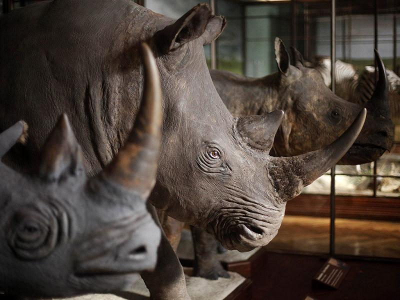 Historic mounted rhinos are displayed in an exhibition hall of the Naturhistorisches Museum Wien (Museum of Natural History) in central Vienna. Reuters Photo/Herwig Prammer