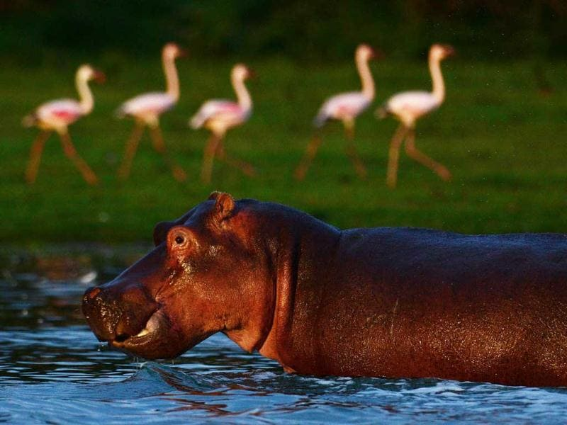 A hippo is pictured near lesser flamingos at Lake Oloidien near Naivasha. Kenya's Lesser flamingos are currently in abundance in the country's drier regions after heavy rains nationwide. AFP Photo/Carl de Souza