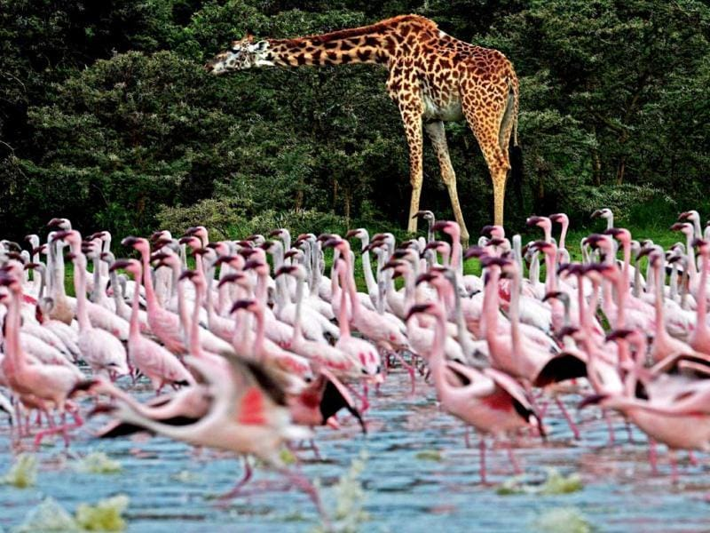 A giraffe is pictured near lesser flamingos at Lake Oloidien near Naivasha. Kenya's Lesser flamingos are currently in abundance in the country's drier regions after heavy rains nationwide. AFP Photo/Carl de Souza