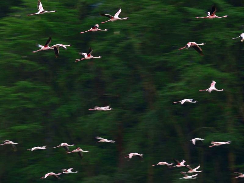 Lesser flamingos fly at Lake Oloidien near Naivasha. Kenya's Lesser flamingos are currently in abundance in the country's drier regions after heavy rains nationwide. AFP Photo/Carl de Souza