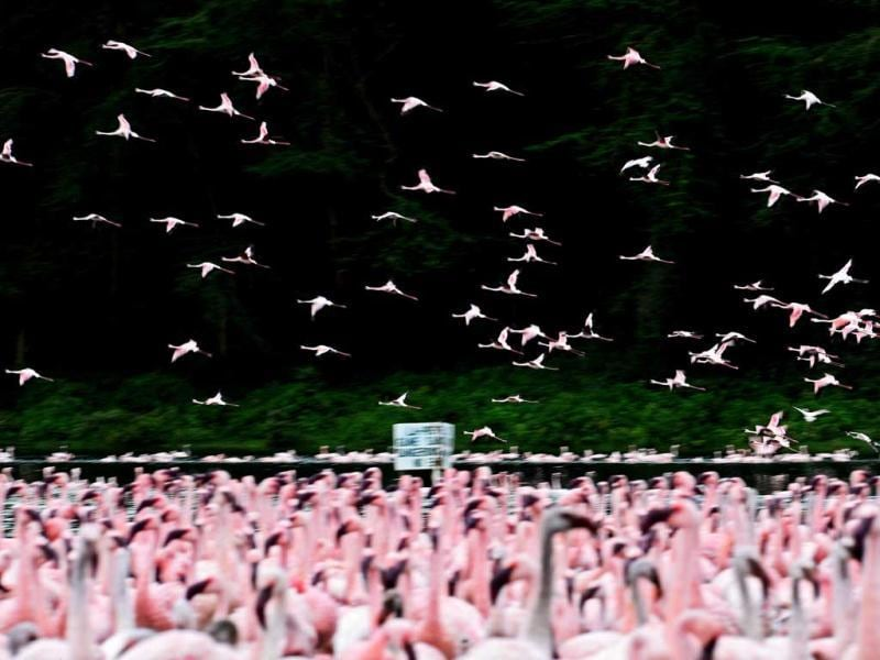 Lesser flamingos are pictured at Lake Oloidien near Naivasha. Kenya's Lesser flamingos are currently in abundance in the country's drier regions after heavy rains nationwide. AFP Photo/Carl de Souza