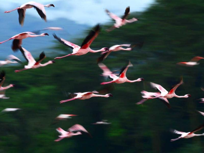Lesser flamingos fly over Lake Oloidien near Naivasha. Kenya's Lesser flamingos are currently in abundance in the country's drier regions after heavy rains nationwide. AFP Photo/Carl de Souza