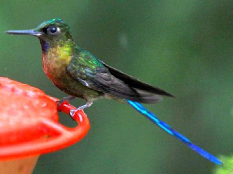 A Violet tailed Sylph (aglaiocercus coelestis) is seen at the private reserve of Paz de las Aves (Peace of the Birds) near Nanegalito, Ecuador, 65 km north of Quito. Ecuador is a paradise for bird watching since it has 1600 species, a 13% of the existing in the world. AFP Photo/Rodrigo Buendia