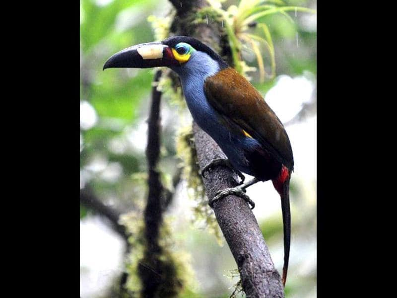 A Plate billed Mountain Toucan (Andigena laminirostris) is seen at the private reserve of Paz de las Aves (Peace of the Birds) near Nanegalito, Ecuador, 65 km north of Quito. Ecuador is a paradise for bird watching since it has 1600 species, a 13% of the existing in the world. AFP Photo/Rodrigo Buendia