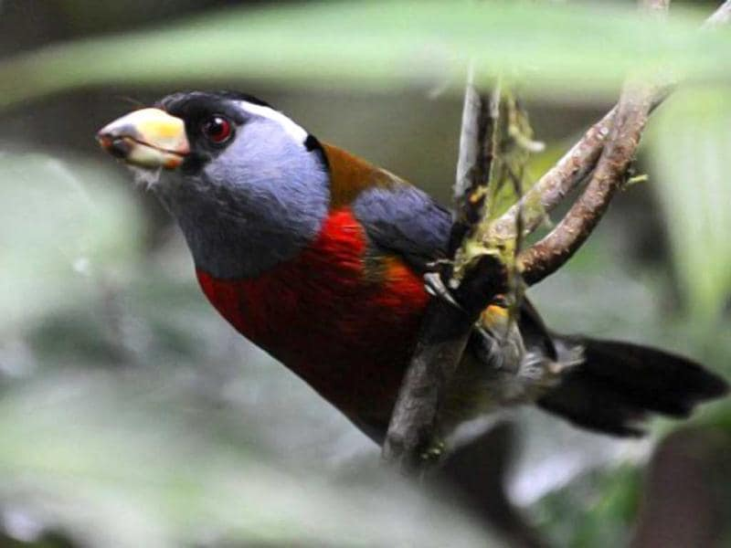 A Toucan Barbet (Semnornis ramphastinus) is seen at the private reserve of Paz de las Aves (Peace of the Birds) near Nanegalito, Ecuador, 65 km north of Quito. Ecuador is a paradise for bird watching since it has 1600 species, a 13% of the existing in the world. AFP Photo/Rodrigo Buendia