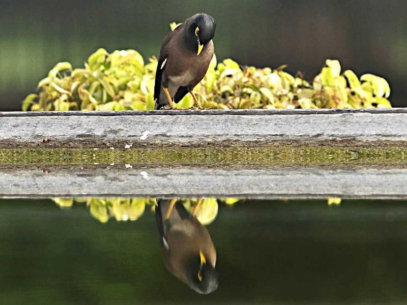 A common myna looks at its reflection in a pool in Vijay Chowk, New Delhi. HT/Jasjeet Plaha (Watch video)