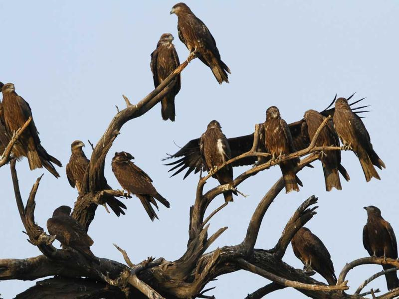 A group of Black Kites sit atop a tree in New Delhi. HT/Jasjeet Plaha