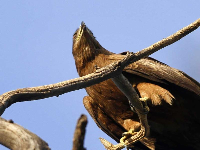 A Black Kite is seen in New Delhi. HT/Jasjeet Plaha