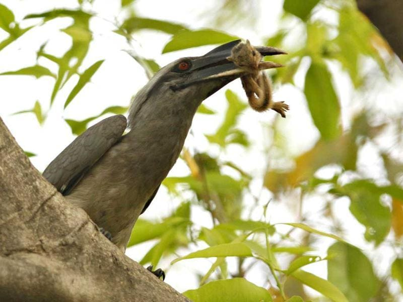A Grey Hornbill is seen with a squirrel in its mouth in New Delhi. HT/Jasjeet Plaha