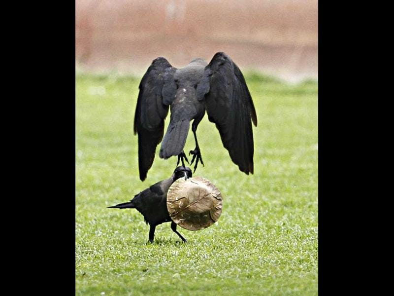 A crow sits on the grass and while the other hovers in the air in New Delhi. HT/Jasjeet Plaha