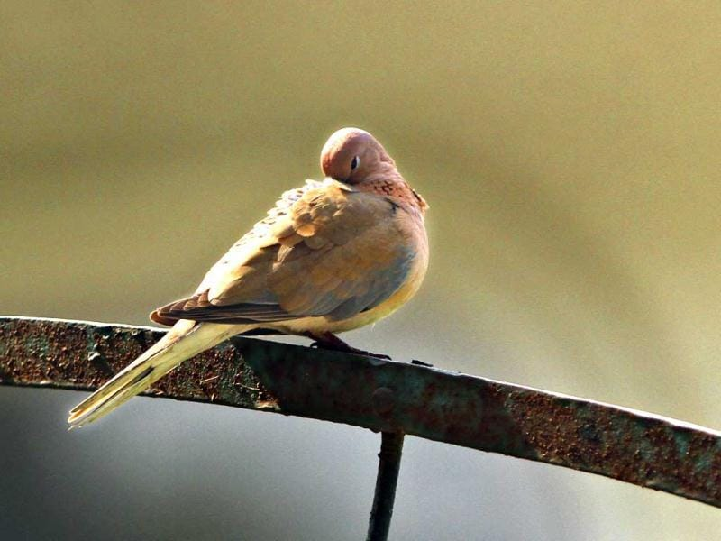 A Laughing Dove burrows in its feathers in New Delhi. HT/Jasjeet Plaha