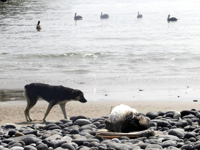 A dog looks at a dead pelican lying along Cerro Azul beach in Canete, Lima. Peru government declared a health alert along its northern coastline on Saturday and urged residents and tourists to stay away from long stretches of beach, as it investigates the unexplained deaths of hundreds of dolphins and pelicans. Reuters/Mariana Bazo
