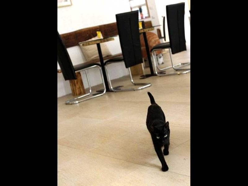 A cat named Sonja, walks inside the Cafe Neko, in the city center of Vienna. Neko, which means cat in the Japanese language, is the first
