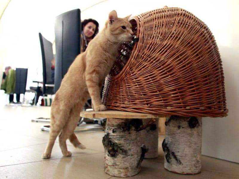A customer watches cat 'Thomas' inspects his basket in Vienna's first cat cafe. After three years of negotiations with city officials over hygiene issues, Austria opened its first cat cafe last Friday. 'Cafe Neko',