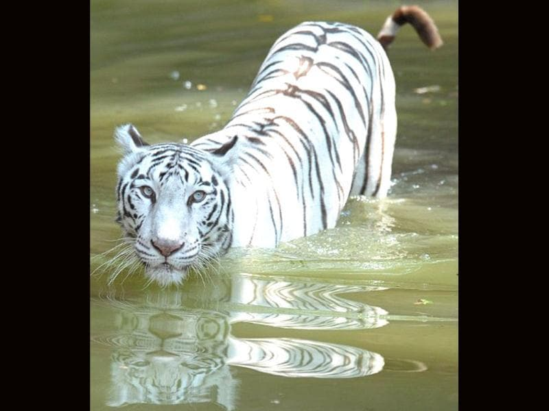 A white Bengal tiger walks through water at his enclosure in the Nehru Zoological Park in Hyderabad. AFP Photo / Noah Seelam