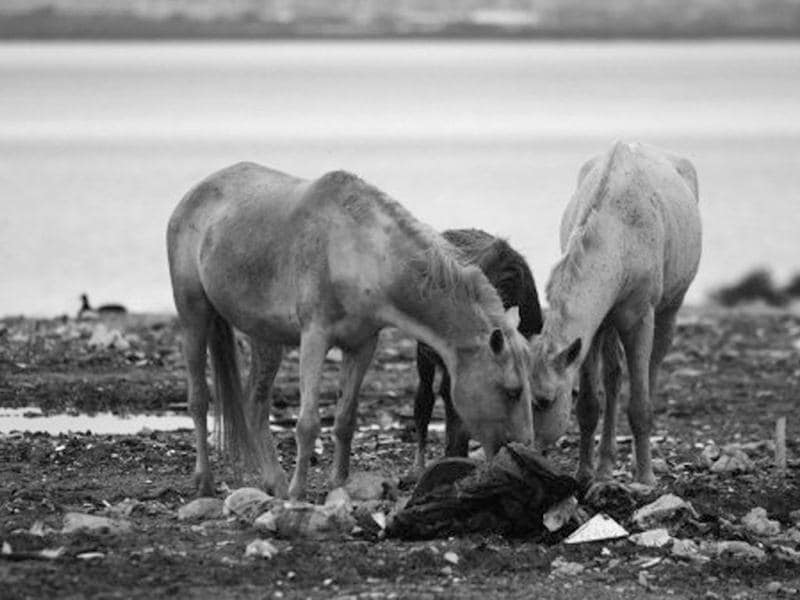 Horses eat from the waste at the Jardim Gramacho landfill, the biggest in South America, in Rio de Janeiro. AFP/Christophe Simon