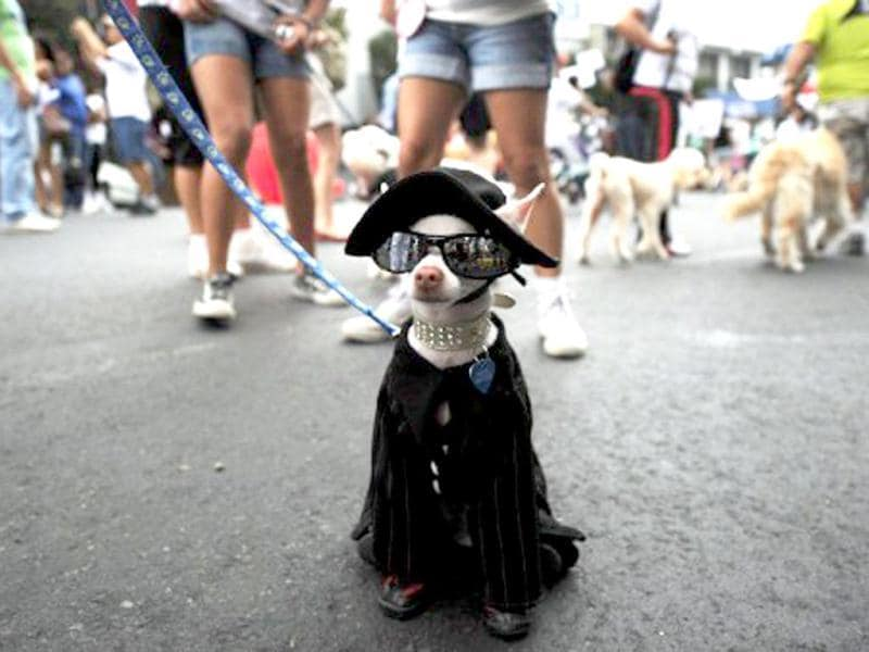 A fancy dressed dog marches during a protest against animal abuse in San Jose, Costa Rica. AFP Photo/Rodrigo Arangua