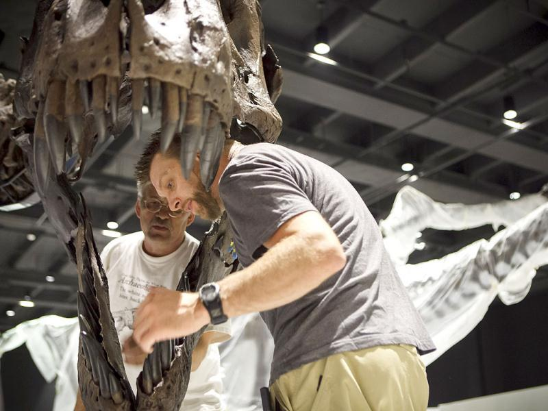 Diretor Pete Larson of the Black Hills Institute of Geologic Research, back, and artist Tomas Schneider, right, attach a Tyrannosaurus Rex fossil head into place in the new Hall of Paleontology at the Houston Museum of Natural Science. AP/Michael Stravato