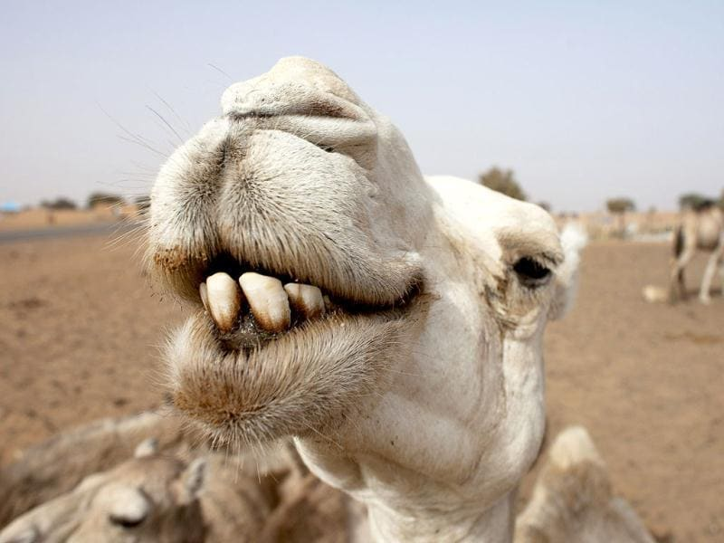 Camels rest at a watering hole outside the town of Aleg. (Reuters)