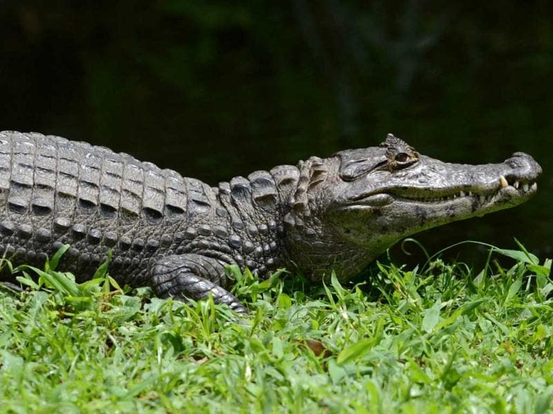 An alligator is seen at National Biodiversity Institute on May 31, 2012 in Heredia, Costa Rica. June 5 celebrates World Environment Day. AFP PHOTO/ Rodrigo ARANGUA