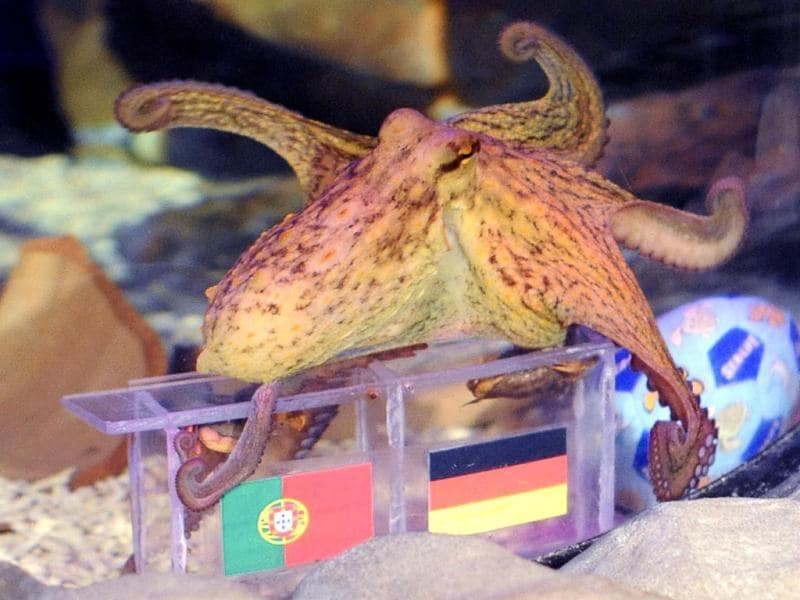 Octopuses Paulus, born in Germany, swims over boxes with the flags of Germany and Portugal to predict the winner between the two teams' Euro 2012 soccer match, in Porto's city Sea Life Aquarium. Reuters/Luis Efigenio