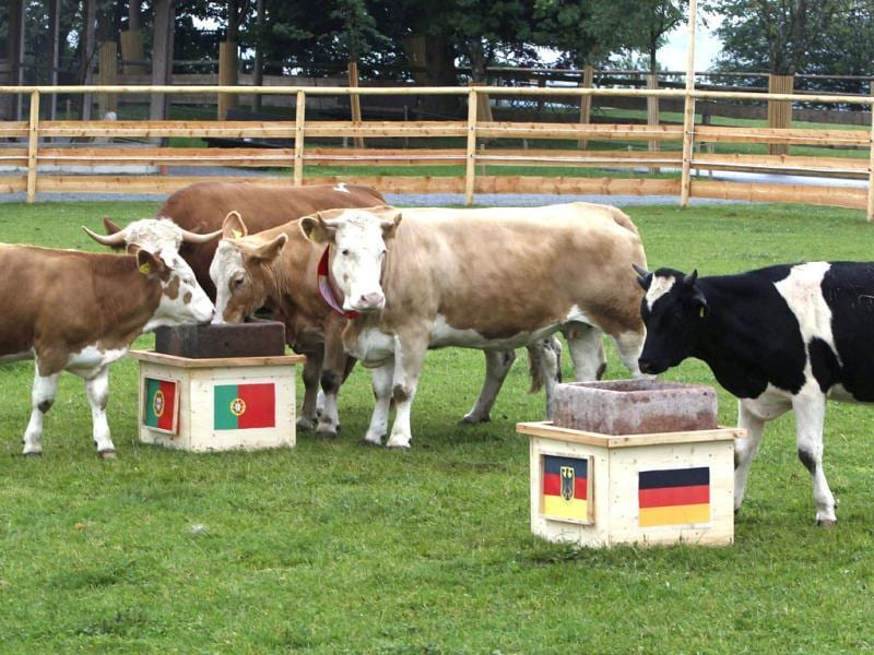 German Oracle cow Yvonne (2nd R) runs directly to the Portugal feeding trough at Gut Aiderbichl in Deggendorf Eichberg. Yvonne, the