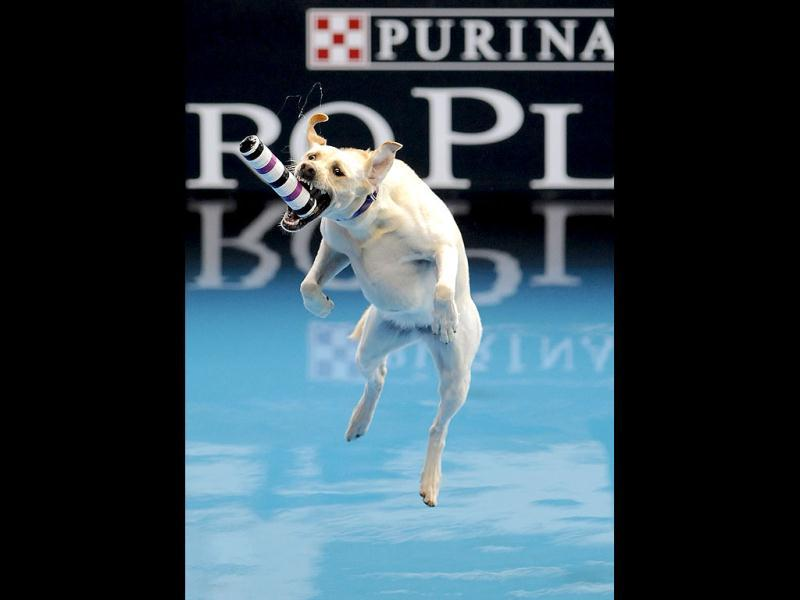 In this image provided by the Purina, Dusty, a five-year-old Labrador, competes in the diving dog event during the Purina Pro Plan Incredible Dog Challenge in Del Mar, California. REUTERS/Gus Ruelas