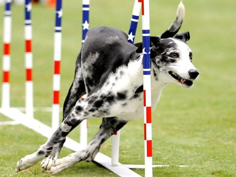 Gumbo, an eight-year-old Catahoula, competes in the large dog agility event at the Purina Pro Plan Incredible Dog Challenge in Del Mar, California. REUTERS/Gus Ruelas