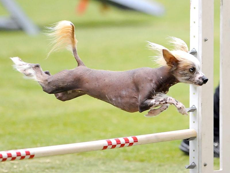 Crystal, a four-year-old Chinese Crested, competes in the small dog agility event at the Purina Pro Plan Incredible Dog Challenge in Del Mar, California. REUTERS/Gus Ruelas