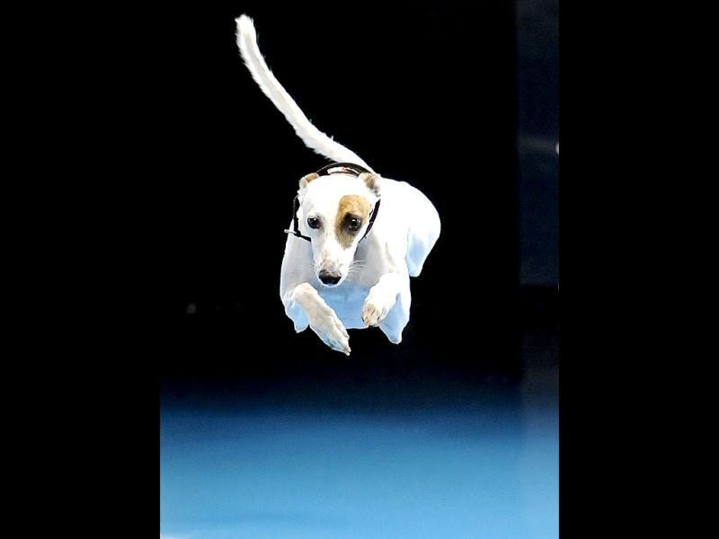Cochiti, a six-year-old Whippet, competes in the diving dog competition during the Purina Pro Plan Incredible Dog Challenge in Del Mar, California. REUTERS/Gus Ruelas