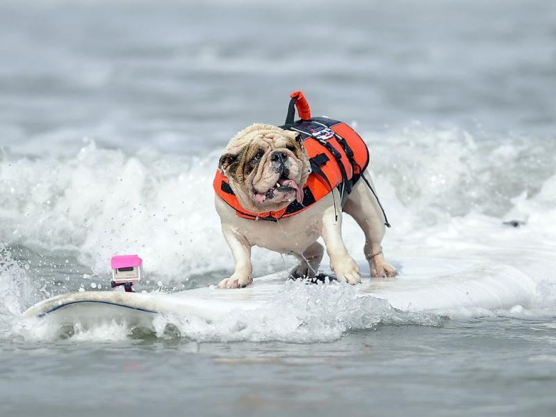 Betsy, a seven-year-old English Bulldog, rides a wave during the surfing competition of the Purina Incredible Dog Challenge in San Diego, California. This canine sporting event features a variety of events including dog surfing, dog diving, freestyle flying disc, head-to-head weave poles, Jack Russell hurdle racing and agility. REUTERS/Gus Ruelas