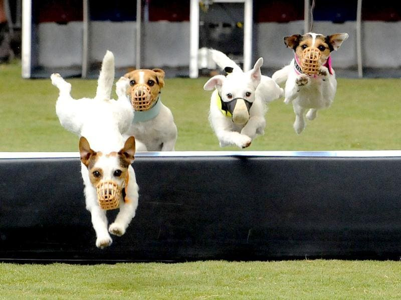 Jack Russell dogs compete in the hurdle racing event during the Purina Pro Plan Incredible Dog Challenge in Del Mar, California. The premier canine sporting event features dogs competing in a variety of events including dog surfing, dog diving, freestyle flying disc, head-to-head weave poles, Jack Russell hurdle racing and agility.  REUTERS/Gus Ruelas/Purina