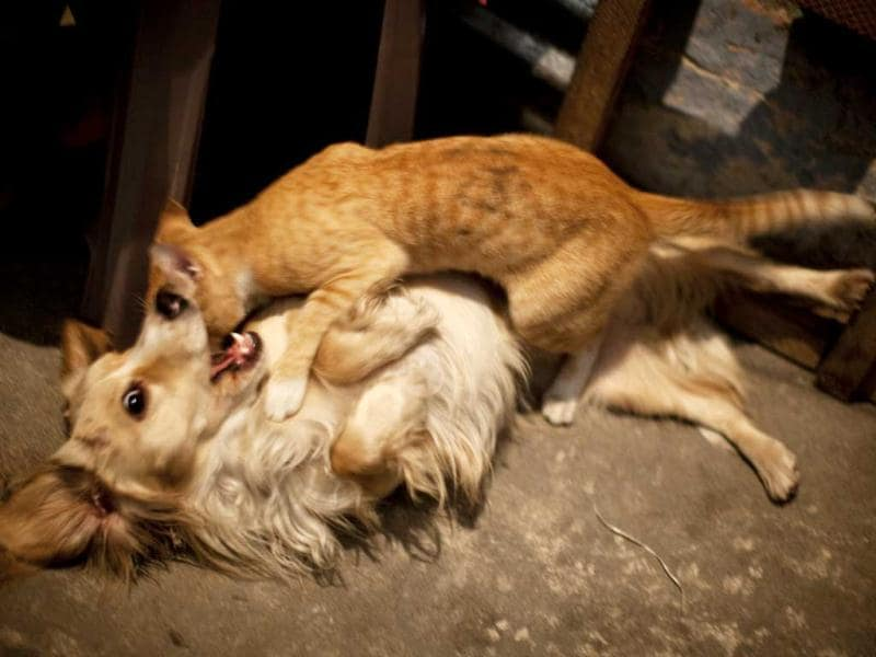A cat and dog play on the floor of a home where transgenders prepare to take part in the Miss Night Queen beauty pageant in Guatemala City. AP/Rodrigo Abd