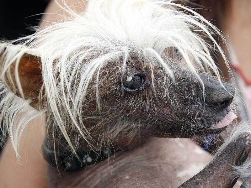 Spam-O-Rama, a Chinese Crested pedigree dog, is seen during the 24th annual World's Ugliest Dog Contest at the Sonoma-Marin Fair in Petaluma, California. (Reuters Photo)