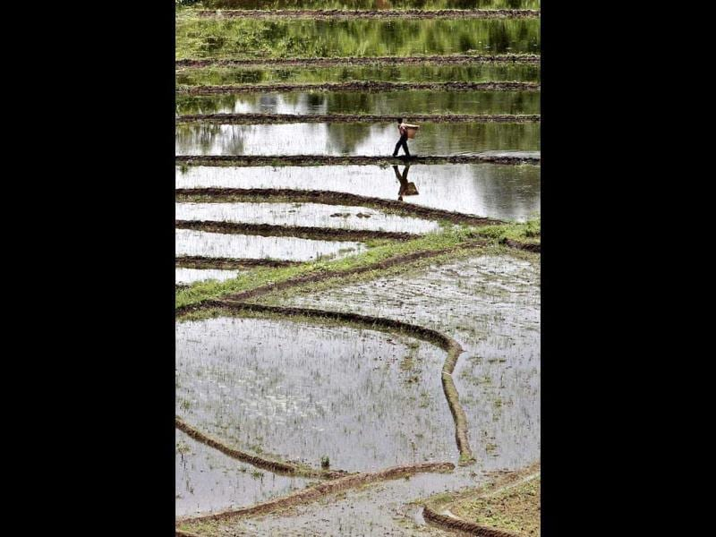 A farmer walks on a paddy field in Umling. With the arrival of monsoon rains, farming activity has resumed in the paddy fields. AP/Anupam Nath