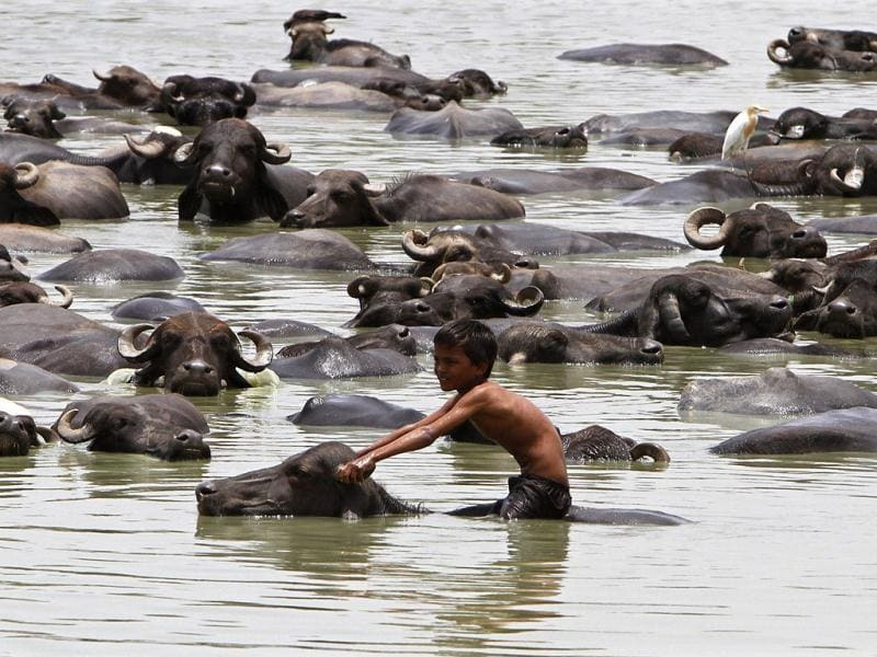 A boy sits on a buffalo as he cools off in a pond during a hot summer day at Jetapura village in Gujarat. Reuters/Amit Dave