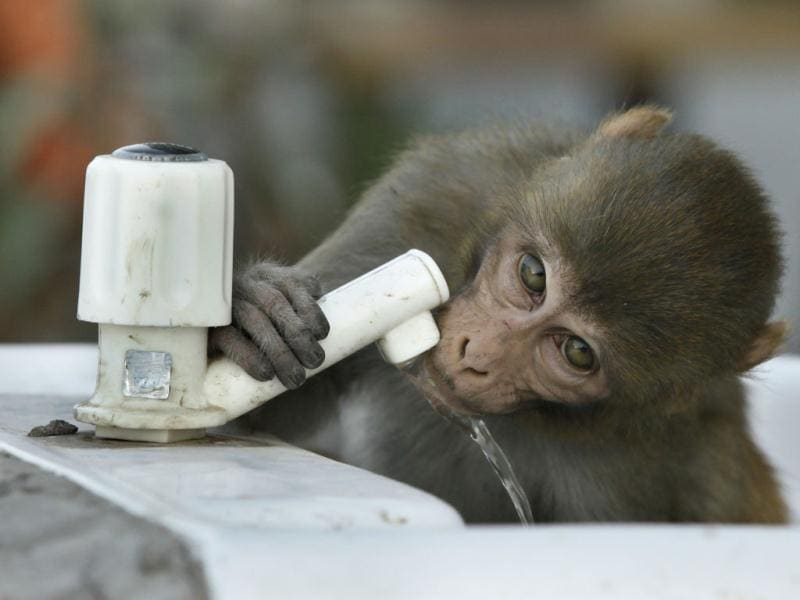 A monkey drinks water from a tap during in New Delhi. HT/Raj K Raj