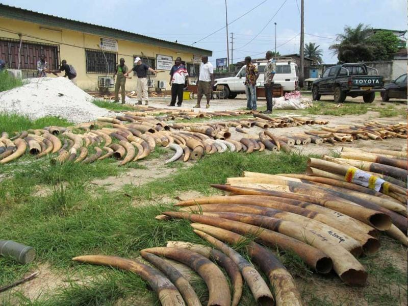 Stockpiles of ivory are seen in Gabon, in this undated handout photo. The central African nation of Gabon will burn its government stockpiles of ivory against the backdrop of a surge in the killing of elephants and rhinos across the continent to meet surging Asian demand. Reuters