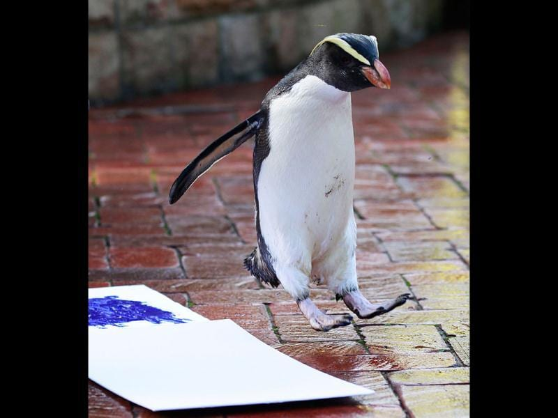 A penguin named Mr Munro fails in its first attempt to leave its footprint on a white canvas at Taronga Zoo in Sydney. (Reuters Photo/Daniel Munoz)