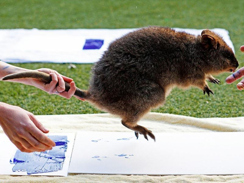 Zookeepers take the footprints of a Quokka at Taronga Zoo in Sydney. (Reuters Photo/Daniel Munoz)