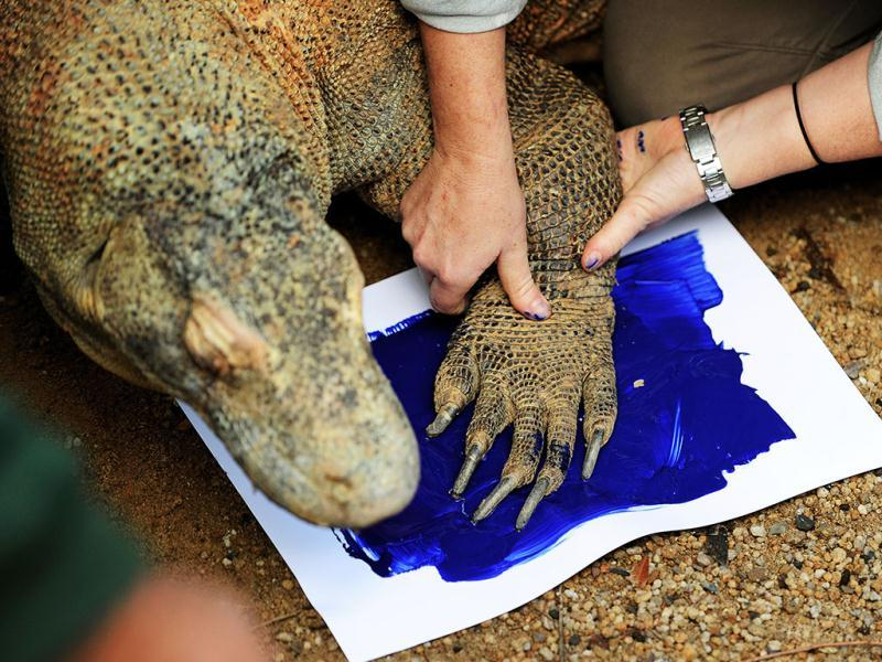 A zoo keeper places one of Kimodo Dragon 'Tuka' feet onto a piece of paper with wet blue paint in order to make a print with it at Taronga Zoo in Sydney. (AFP Photo/ Greg Wood)