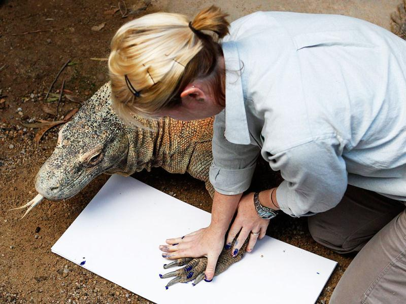 A zookeeper takes the footprint of Komodo dragon