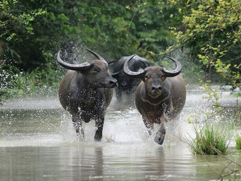 Wild buffalos run through flood waters in the Pobitora Wildlife Sanctuary, some 55 kms from Guwahati, the capital city of Assam. (AFP Photo)