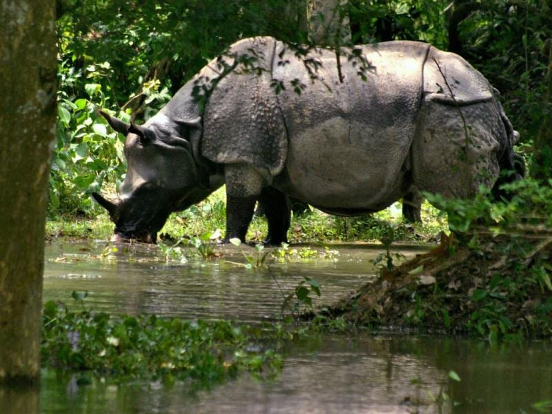 A rhinoceros stands in flood water at Kaziranga Wildlife Sanctuary in Assam. (PTI Photo)
