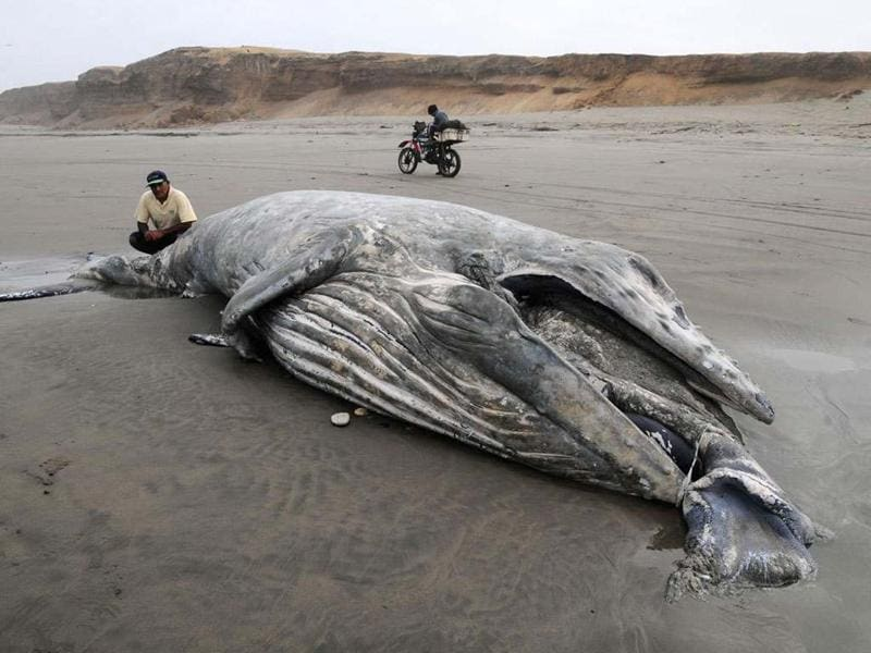 A beached humpback whale lies on the shore near Puerto Eten, 23 km (14 miles) south of Chiclayo. REUTERS/Heinz Plenge