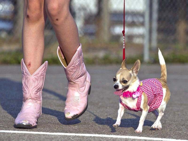 Katie Stokley, 10, shows off her Chihuahua
