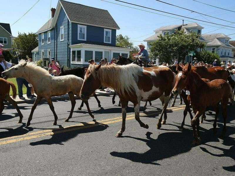 Wild ponies are herded down main street to the fair grounds after swiming the Assateague Channel for their annual swim to Chincoteague Island in Chincoteague, Virginia. AFP