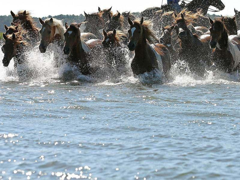 Wild ponies are herded into the Assateague Channel to for their annual swim to Chincoteague Island in Chincoteague, Virginia. AFP